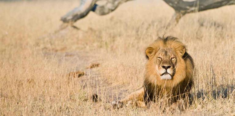 lion-davisons-zimbabwe-mike-myers