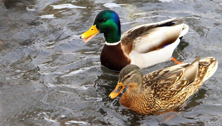 byh-ducks