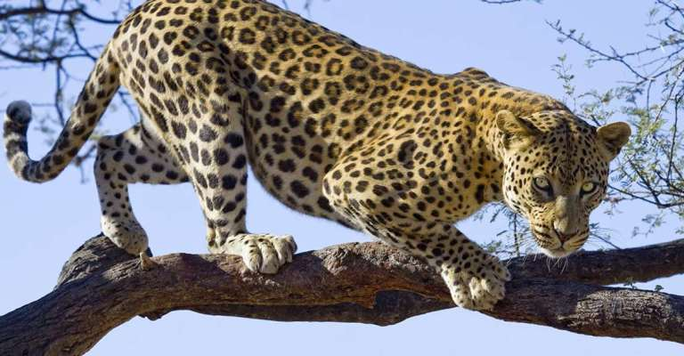 1307leopard