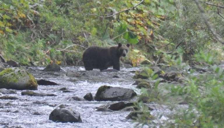 Brown bears in Primorye are as big as Kamchatka