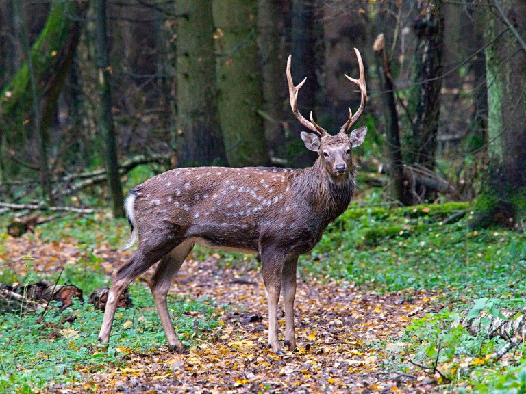 A sika deer in Primorye