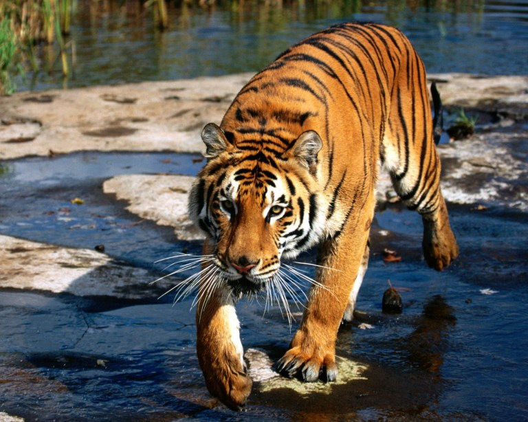 Siberian Tiger in Primorye Area of Russia
