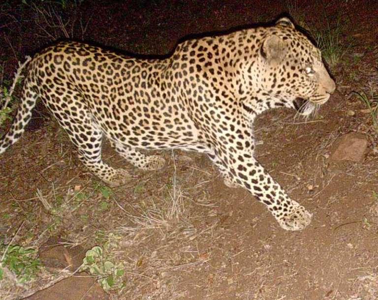 leopard trailcam