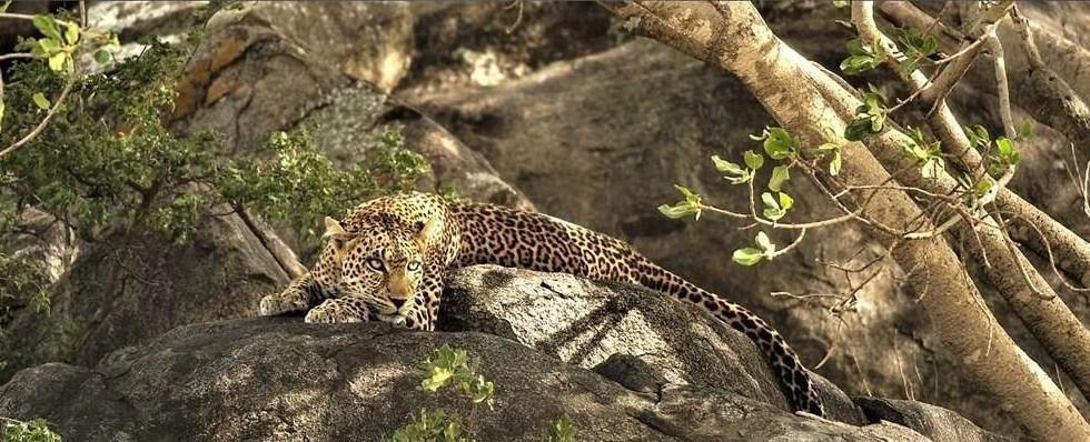 leopard on a rock
