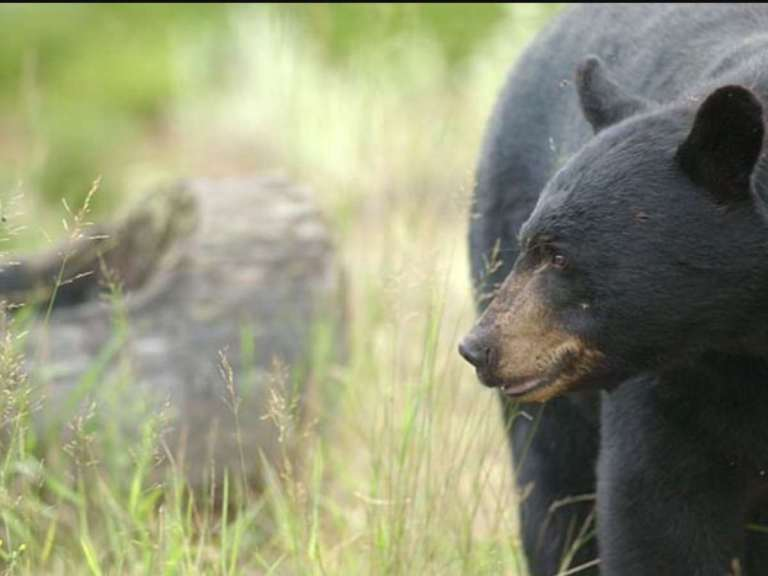 An American black bear is a common game animal
