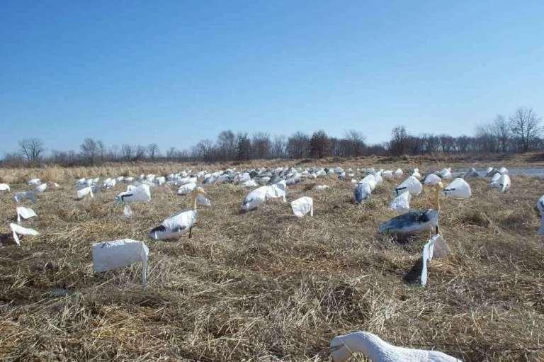 light geese 1