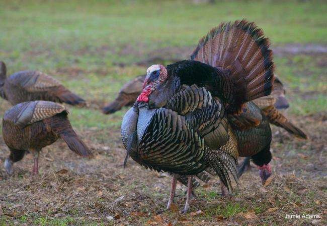 Turkey is classic American hunt quarry