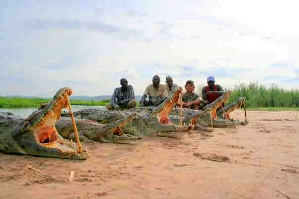Crocodiles harvested by a team of hunters