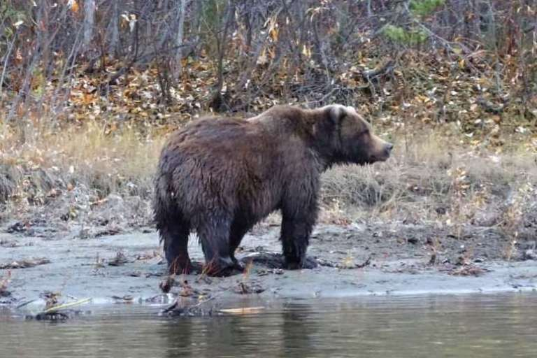 A grizzly bear on a river banc