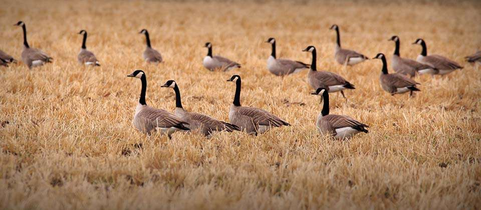 A flock of Canada geese
