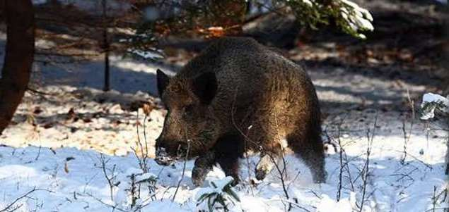 Wild boar in a European wood