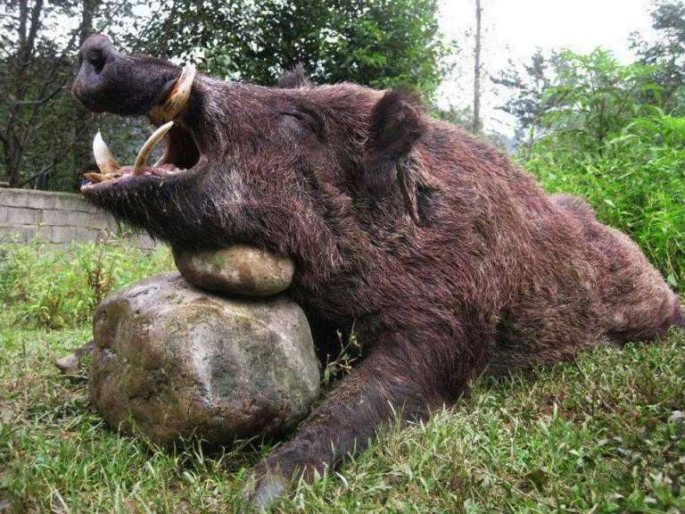 A wild boar from Bulgaria with big tasks