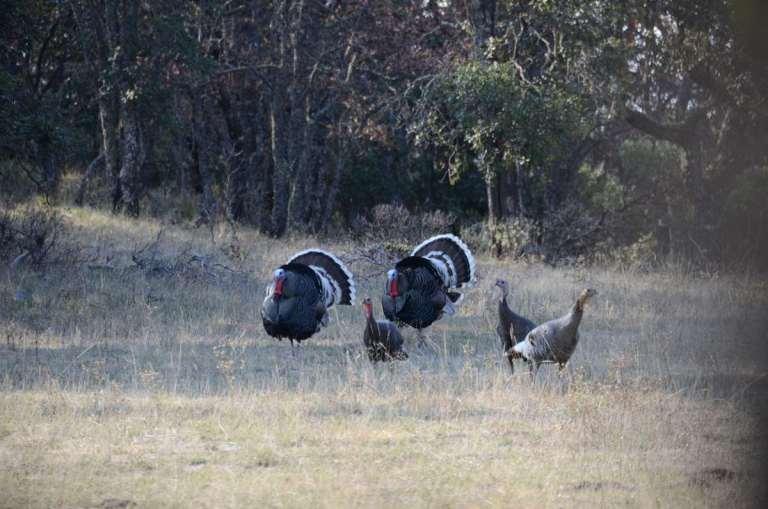 A flock of Gould's turkeys