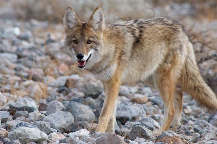 A coyote hunting for small animals among the rocks