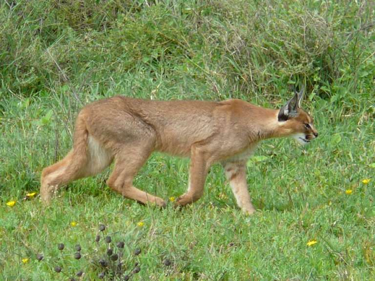 Caracal stalking prey