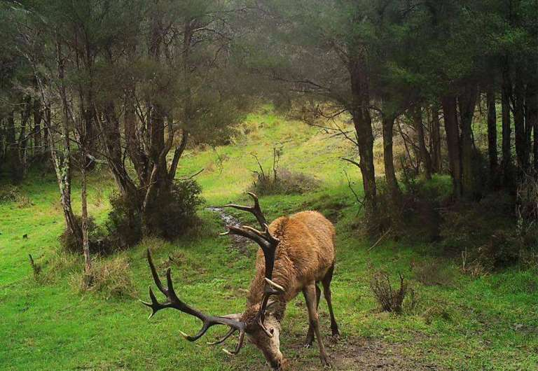 Red deer in New Zealand