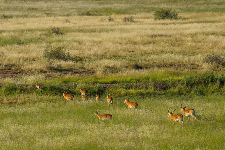 A herd of red lechwe jumping a fence