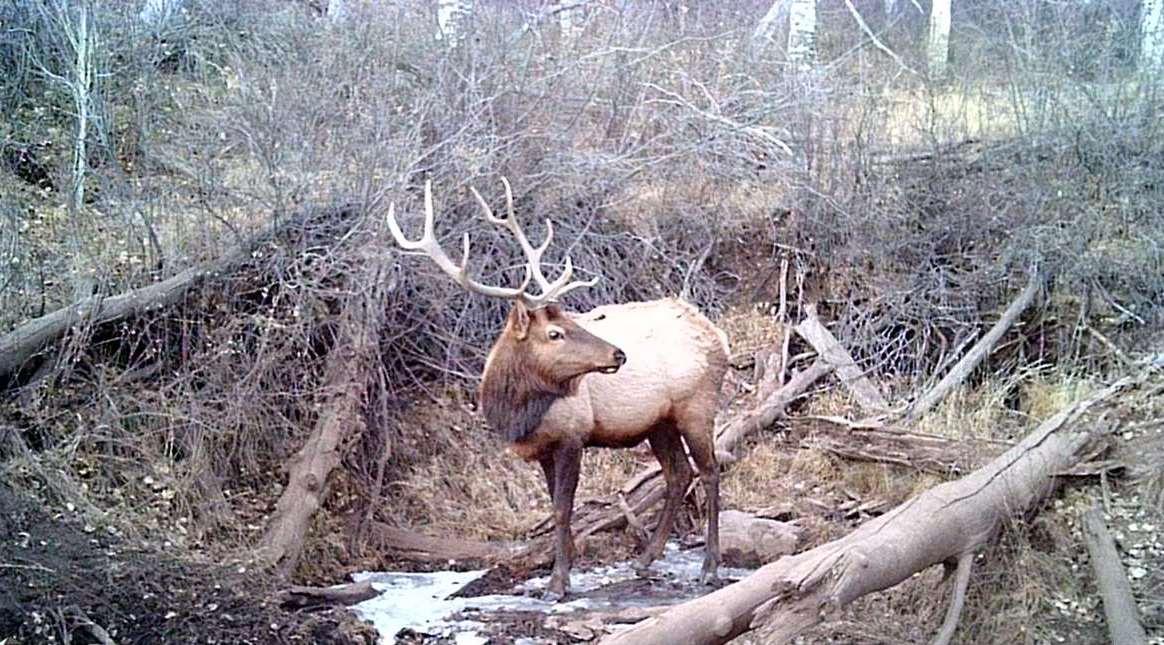 A bull elk in Colorado
