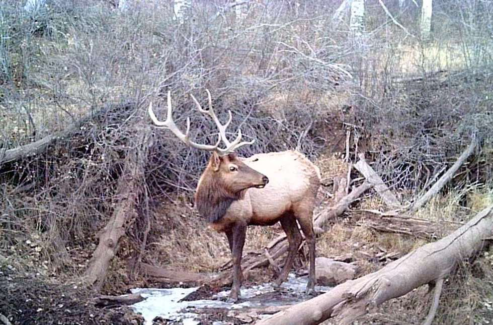 A bull elk in Colorado