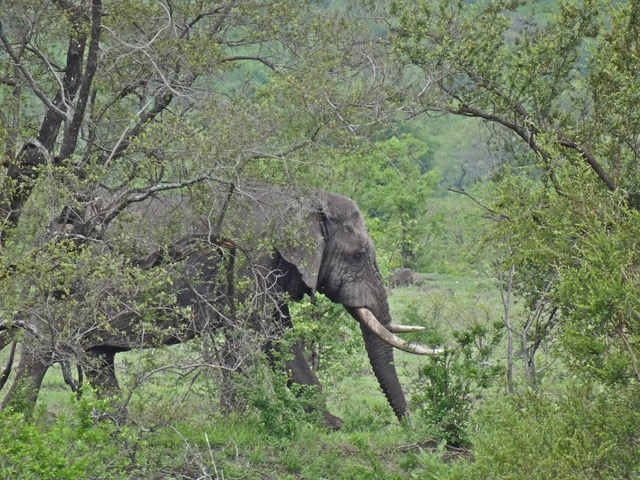 an elephant in dense vegetation