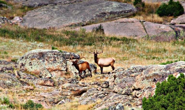bull elk in wyoming