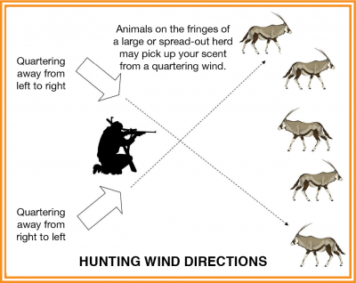 Animals on the fringes of a large or spread-out herd may pick your scent from a quartering wind
