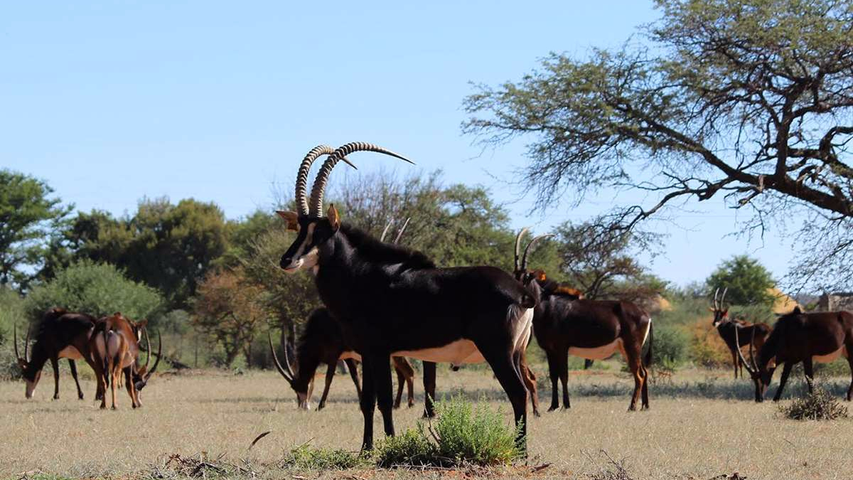 A herd of sable antelope with a good bull