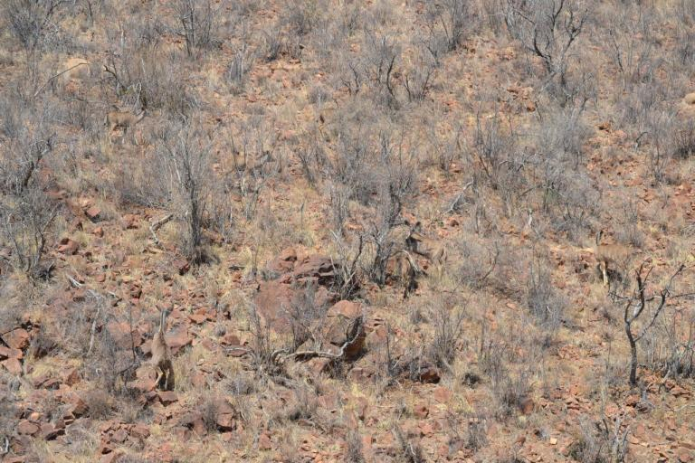 A few Kudu in their typical environment.