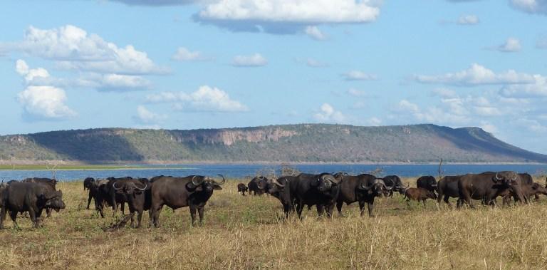 1. Buffalo Herd