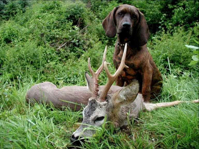 A hound and a harvested roebuck
