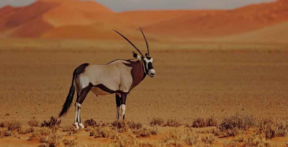 Gemsbok in Kalahari desert