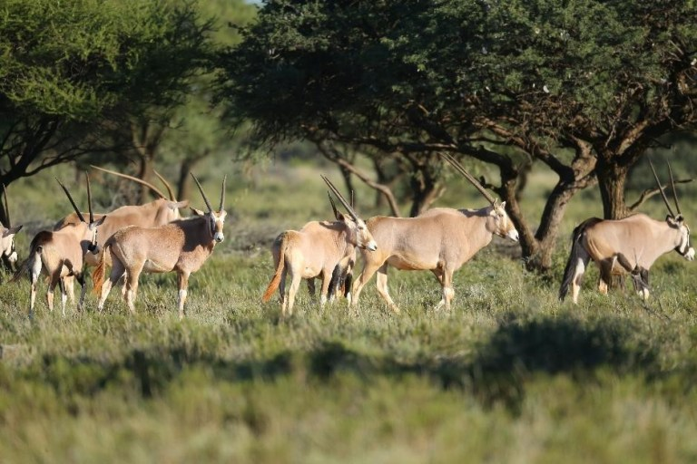 Golden Gemsbok