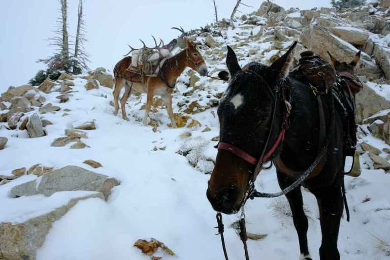 Mules descending on a snowy trail