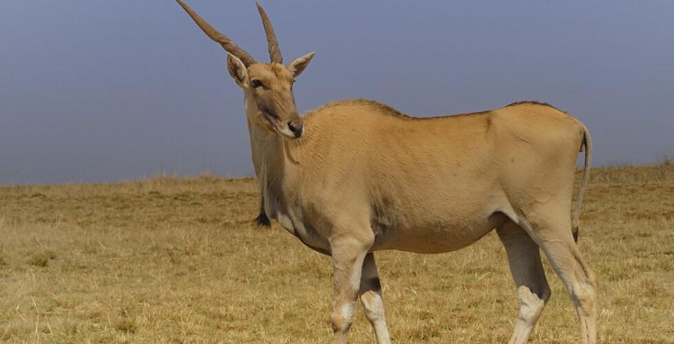 A big Cape eland bull