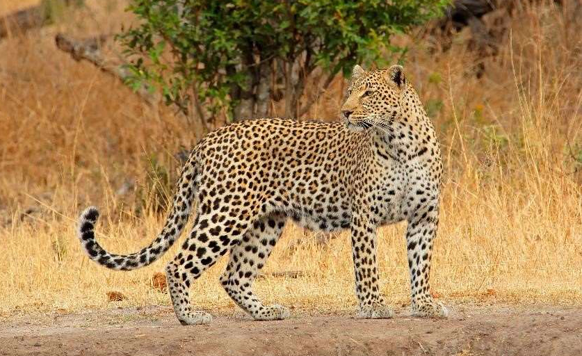 An African leopard in Namibia