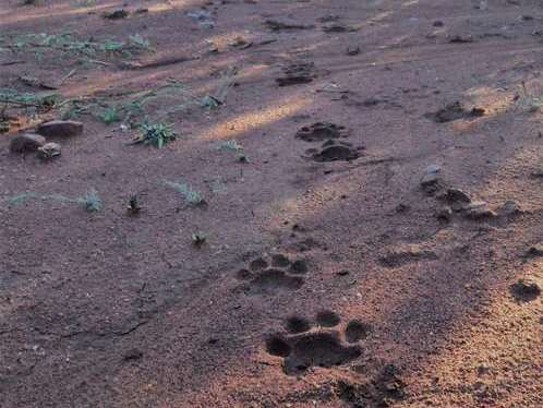 Tracks of a leopard