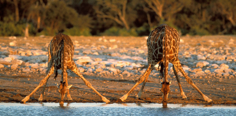Strangely enough, a Giraffe's neck is too short