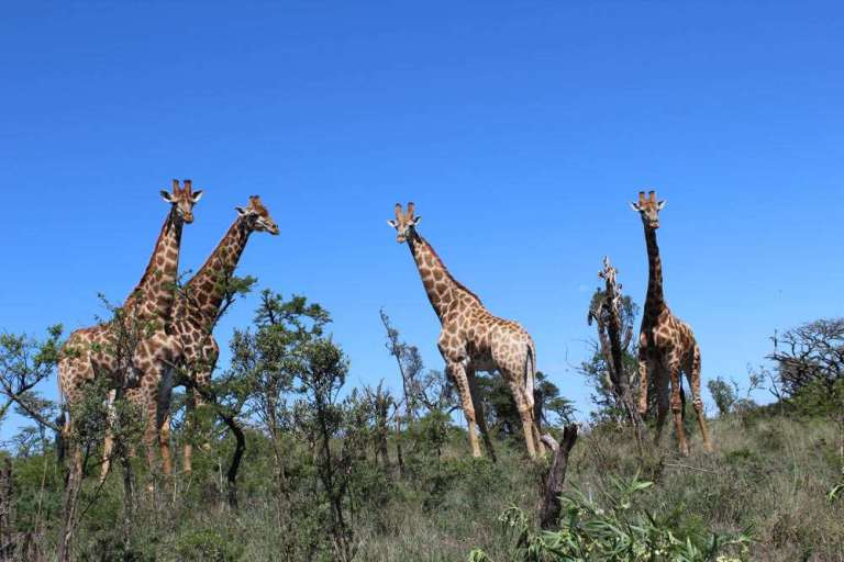 A herd of giraffe