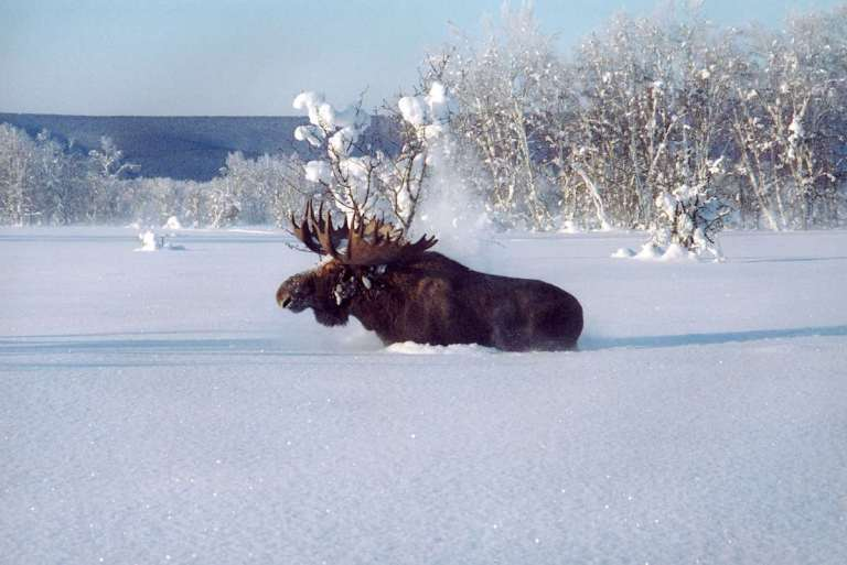 Moose is the creature of the cold