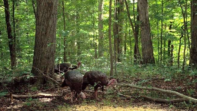 Wild turkeys in the undergrowth