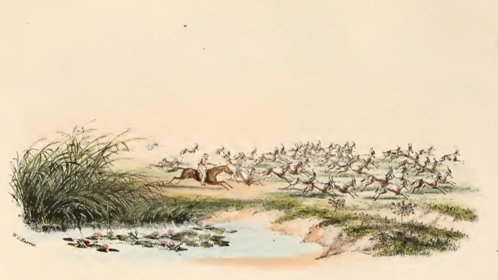 Hunter riding a herd ob blesbok