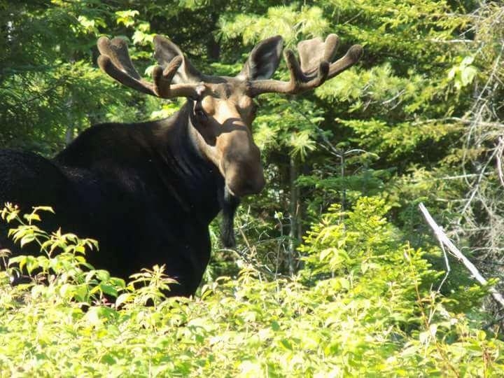 maine moose with antlers in velvet.jpg