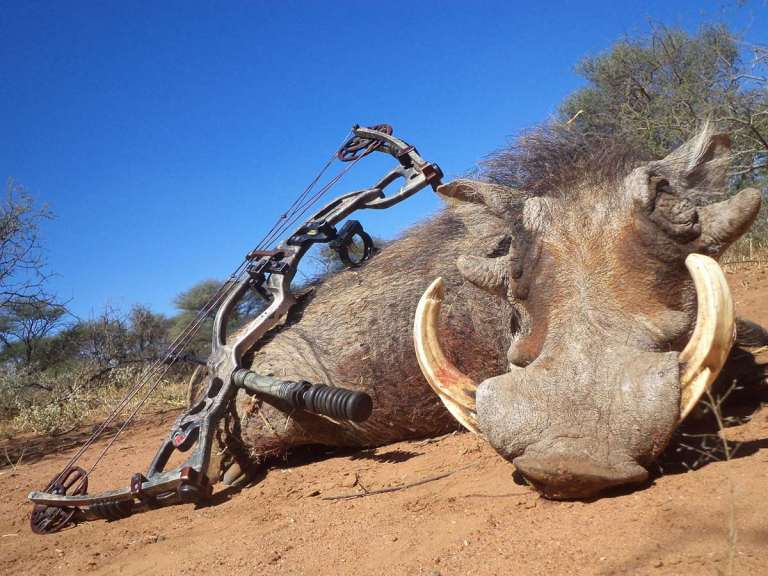 a warthog taken with a bow
