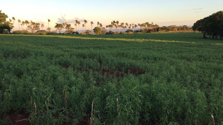 Crotalária, adubo verde, plantio orgânico da cana-de-açúcar
