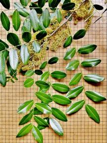amendoim-folha-flores