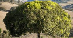Nome popular de várias espécies do gênero Sassafrás e de outras plantas da família das lauráceas, entre as quais: Canela sassafrás, sassafrás amarelo, ou ainda sassafrás-do-paraná, sassafrás-de-Guiana e sassafrás-do-rio.