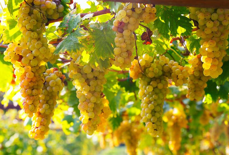 erbaluce vitigno piemonte