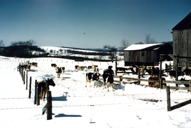 Cows in snow, Hall farm on Whirlwind Hill