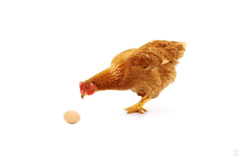 Não cometa o erro de expor os ovos a bicadas