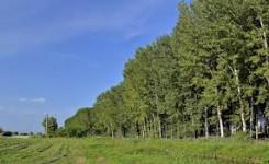 un campo di erba e, sulla destra, un folto filare di pioppi